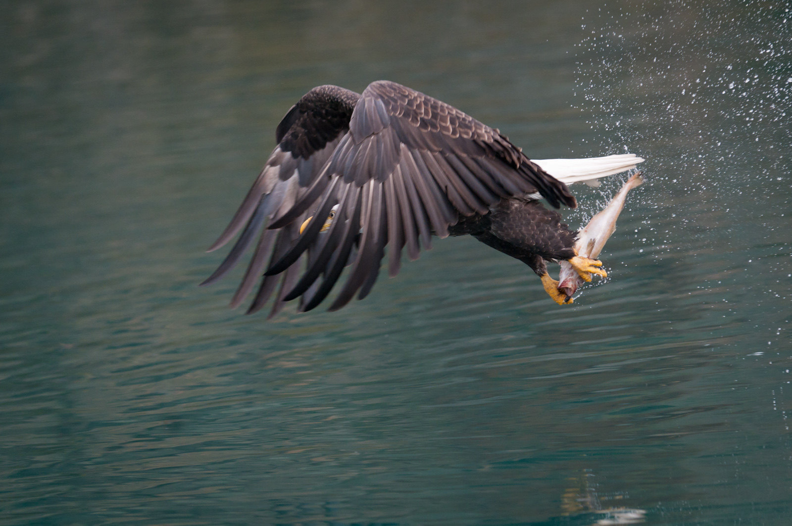 Bald eagle (Haliaeetus leucocephalus) grabs a meal while on the wing