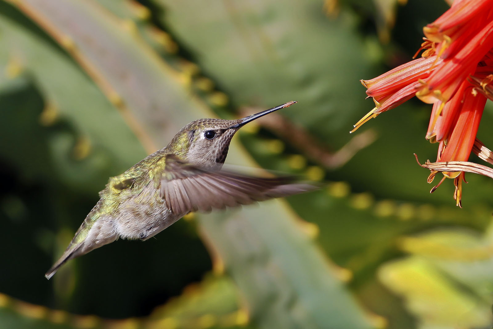 Female Anna's Hummingbird (Calypte anna) with pollen on bill from Aloe vera plant