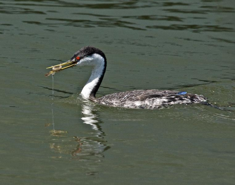 Western Grebe, (Aechmophorus occidentalis) 'juggling' prey before eating and water on back