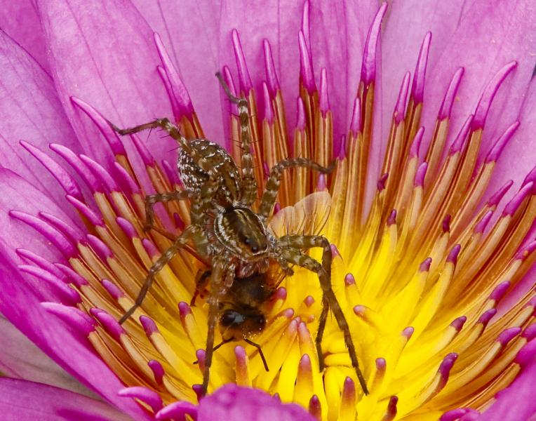 Portrait of Spider Suffocating Bee in Lotus Flower
