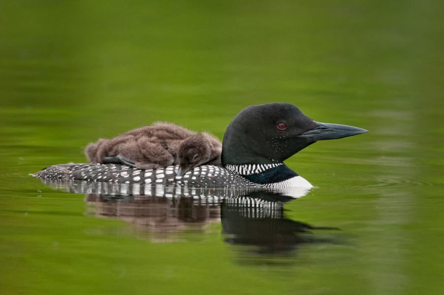 Tired loon chick (Gavia immer) gets a ride on parent's back
