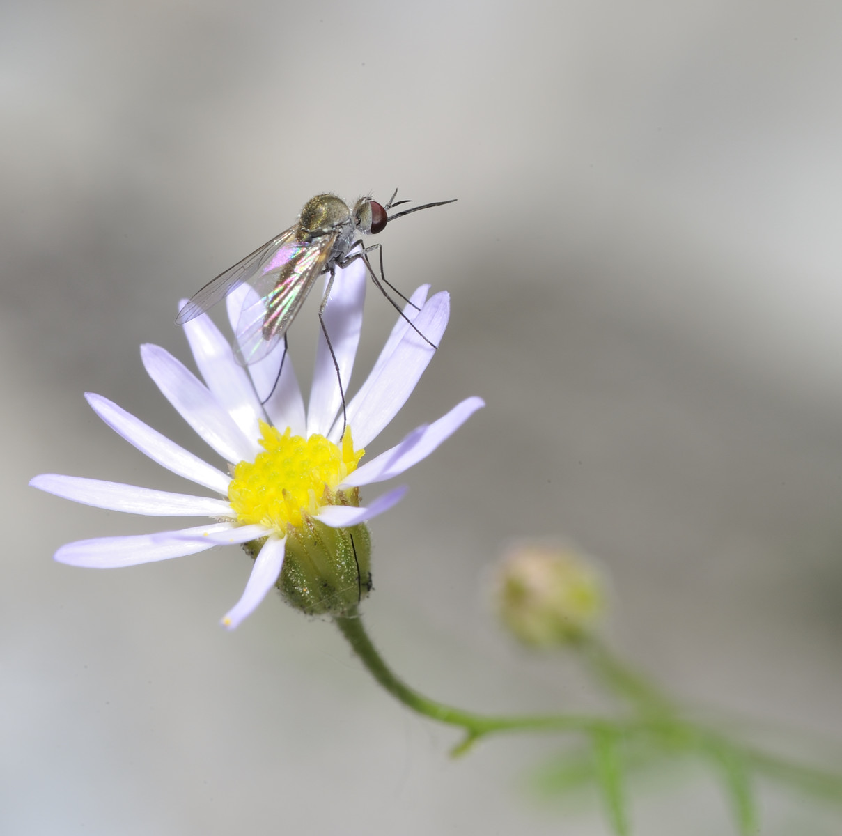 Very Tiny Bee Fly (Geron calvus, in the Bombyliidae Family) Alights on Mountain Daisy