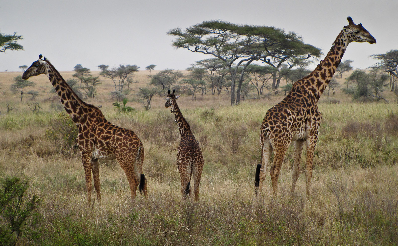 Family of Masai Giraffe (Giraffa camelopardalis tippelskirchi) Keeps Vigilant Watch in Every Directi