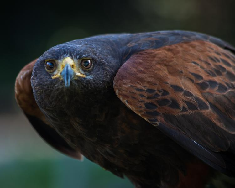 Portrait of a Harris's Hawk #2