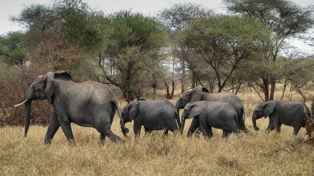 Male African Elephant (Loxodonta africana) Leads Family Through Savanna in East Africa