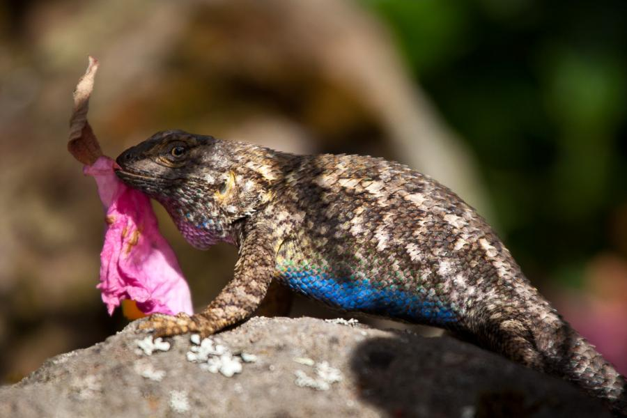 Western fence lizard displays blue belly & adorns rock with flower petals to attract female