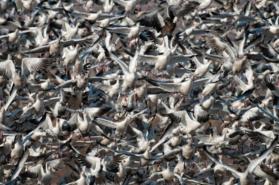 Flock of Snow geese (Chen caerulescens) blasts off in alarm
