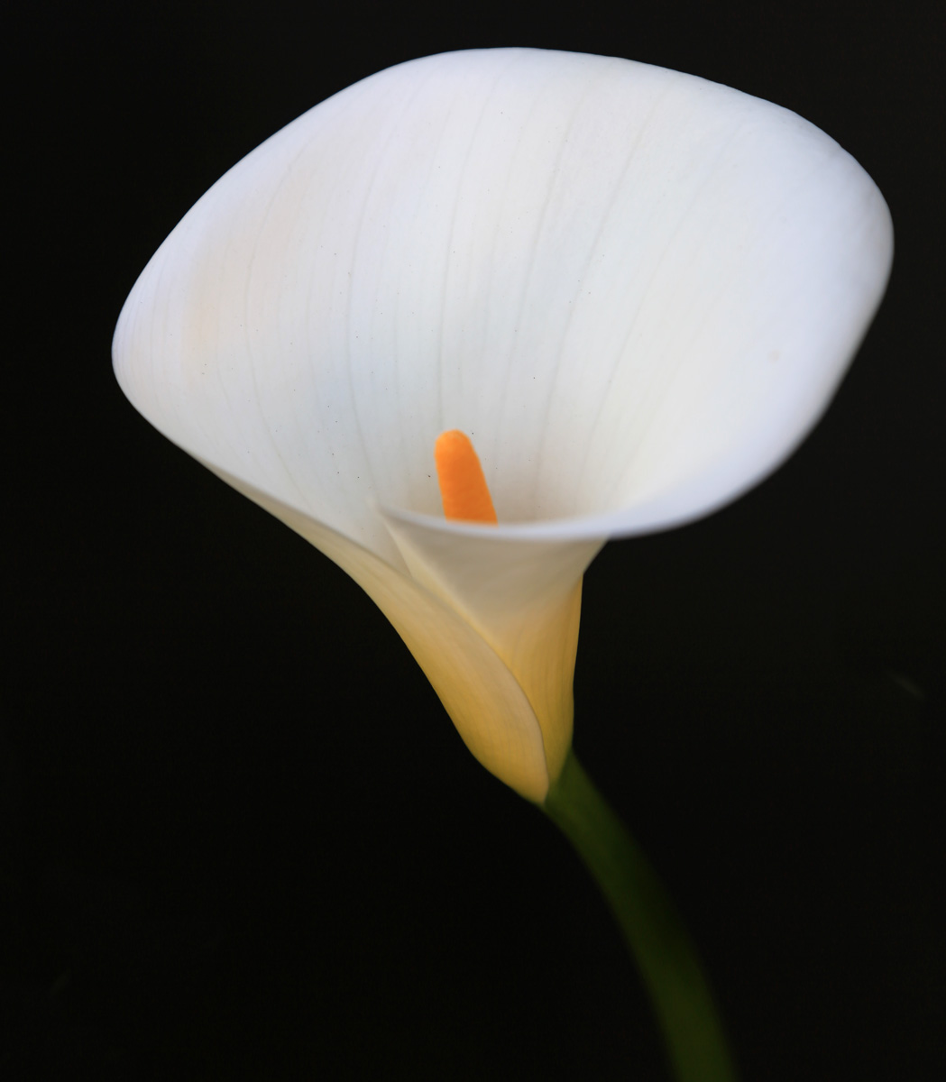 The Cala Lily