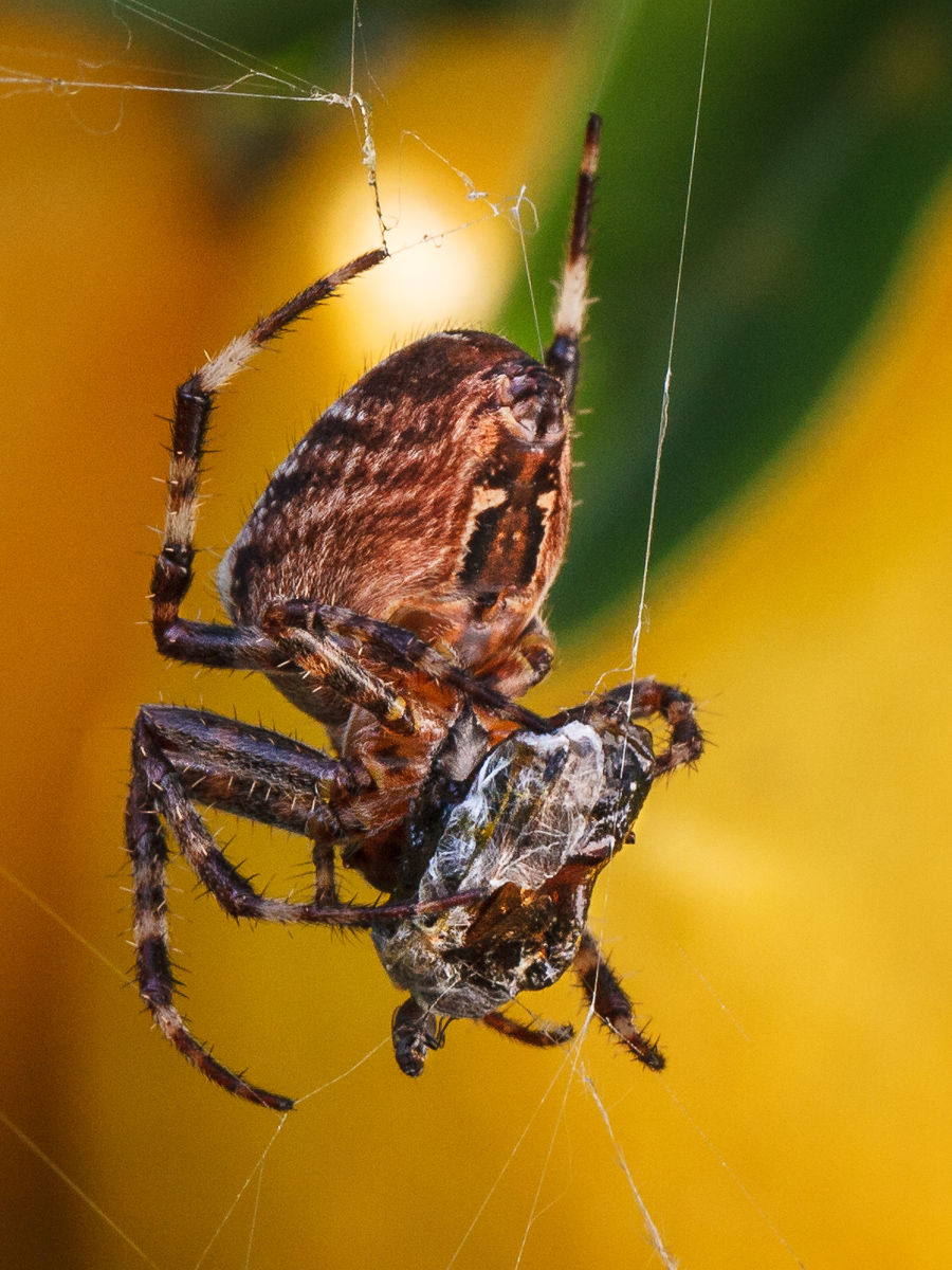 Western Spotted Orbweaver (Neoscona oaxacensis) in lemon tree feeding on bee wrapped in spider silk