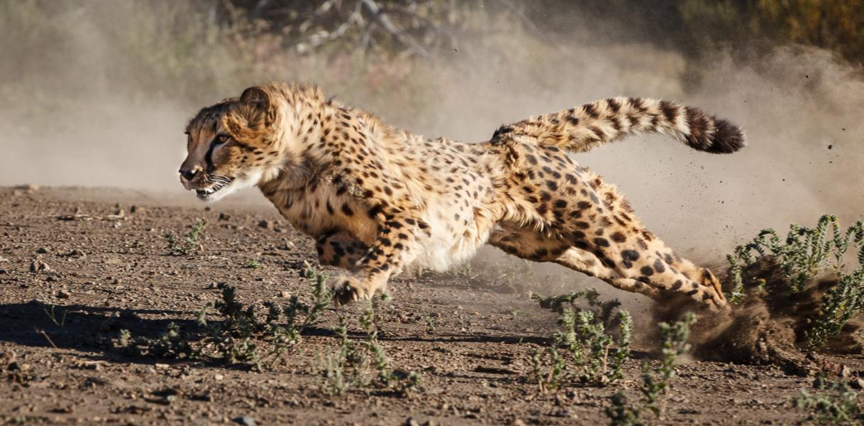 Cheetah (Acinonyx jubatus) accelerates from turn using tail for balance
