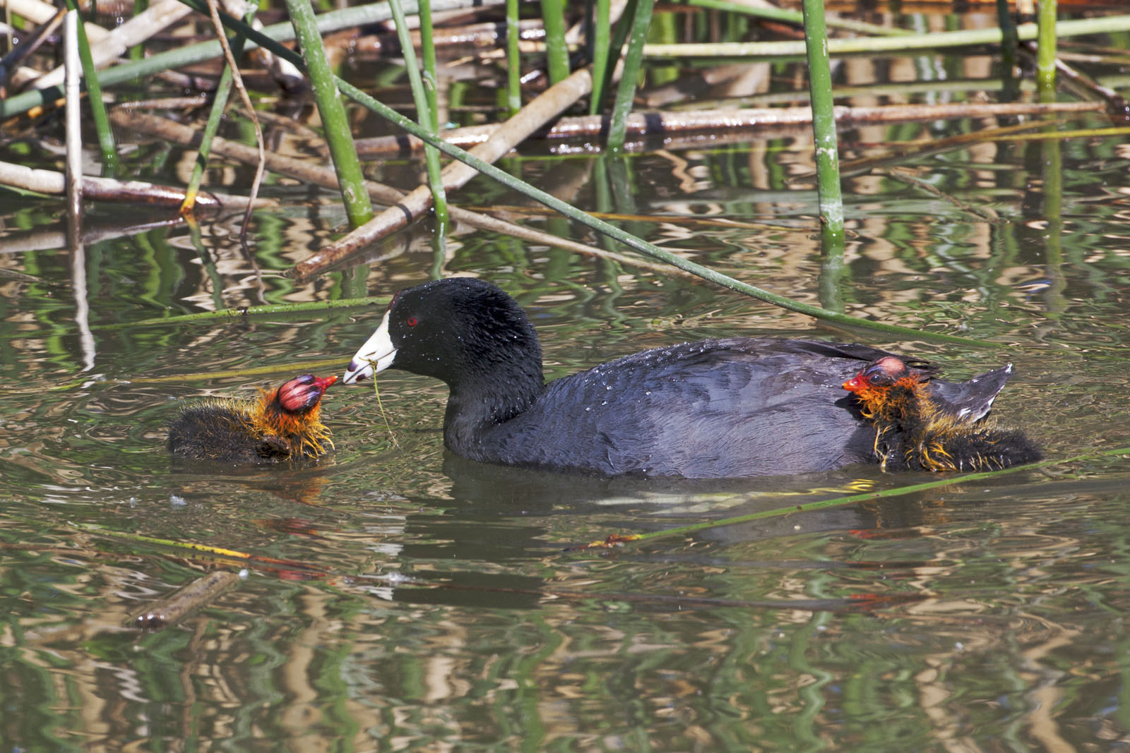 American Coot (Fulica americana) Feeds Seldom Seen Baby Coot