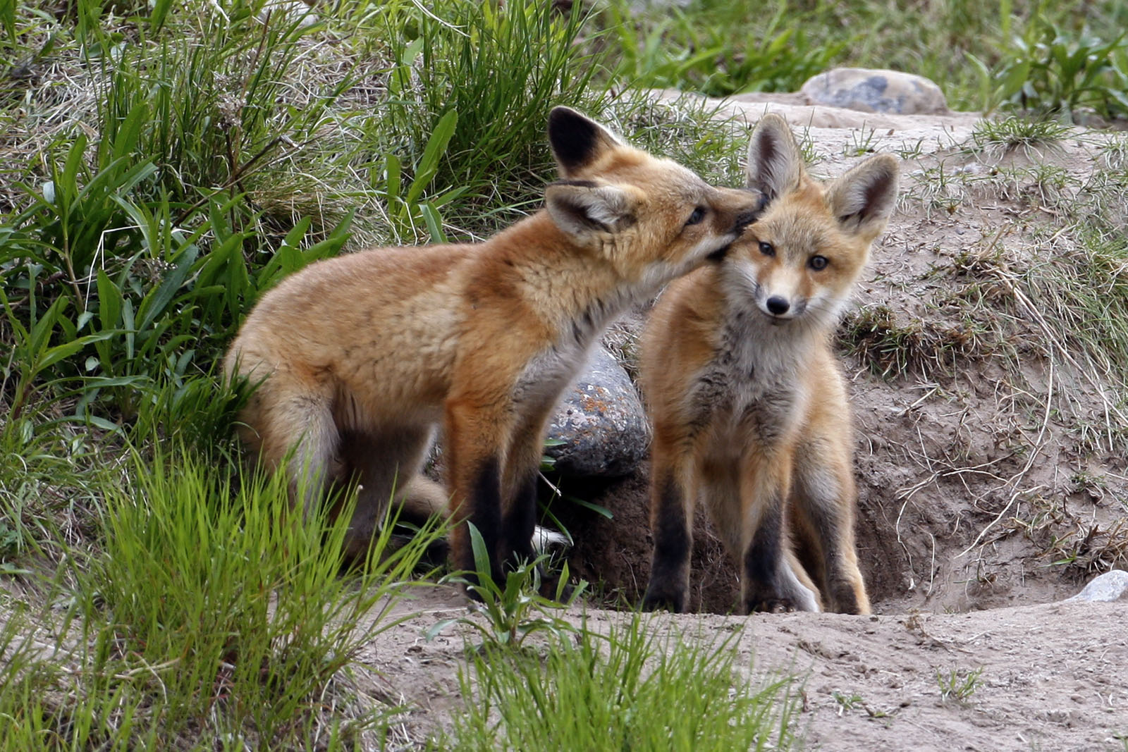 Red Fox Kit (Vulpes vulpes) Nuzzles Sibling's Ear Outside Den, Canada