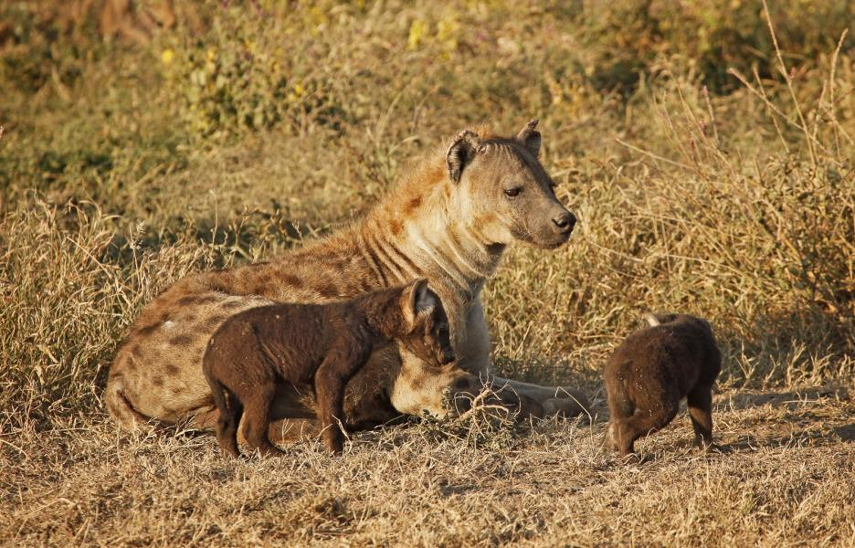 Alpha male Hyena is the only male allowed with very young pups (Crocuta crocuta), Tanzania, Africa