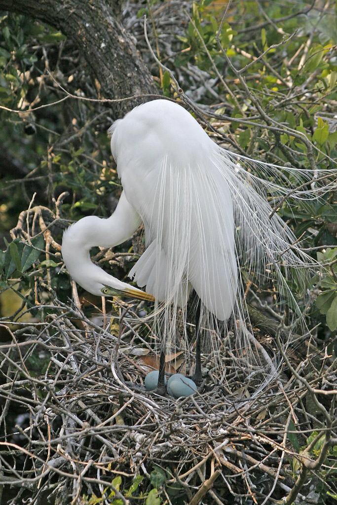 Great White Egret with Two Eggs, Casmerodius albus