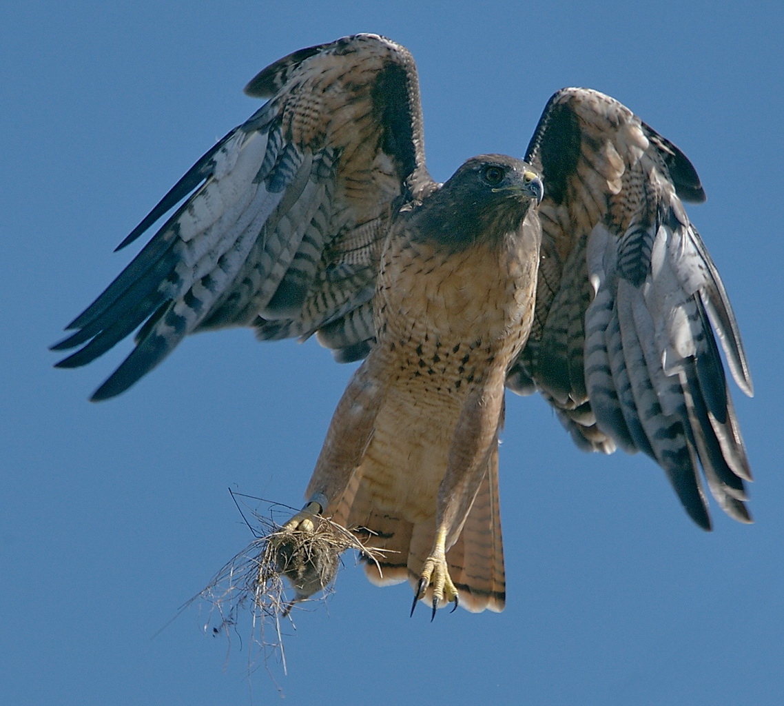 Red Tailed Hawk (Buteo jamaicensis) with lunch (Peromyscus californicus super morior)