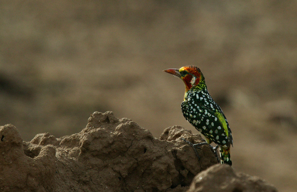 The red and yellow Barbet