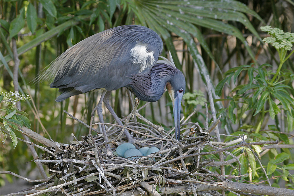 Tricolored Heron Adjusts Nest with Eggs, Florida, Egretta tricolor
