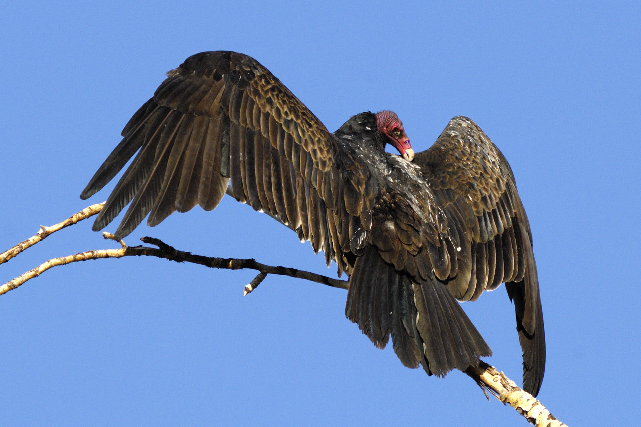 Roosting Turkey Vulture (Cathartes aura) warming wings in the sun