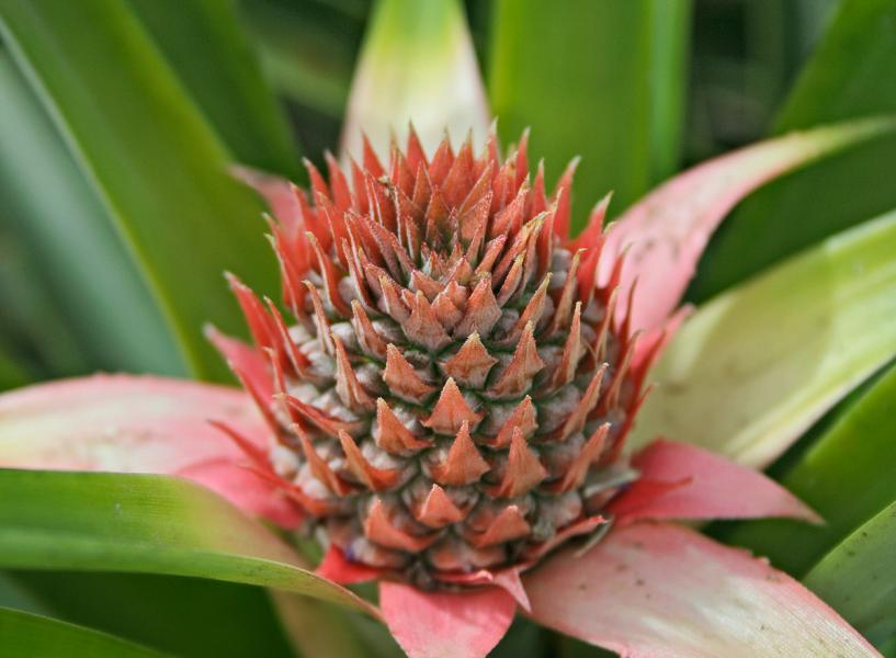 An Immature Pineapple (ananas comosus) is a mass of berries fused atop the main stalk of the plant.