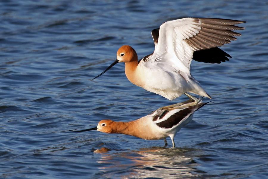American Avocets (Recurvirostra americana) Mating in Shallow Slough