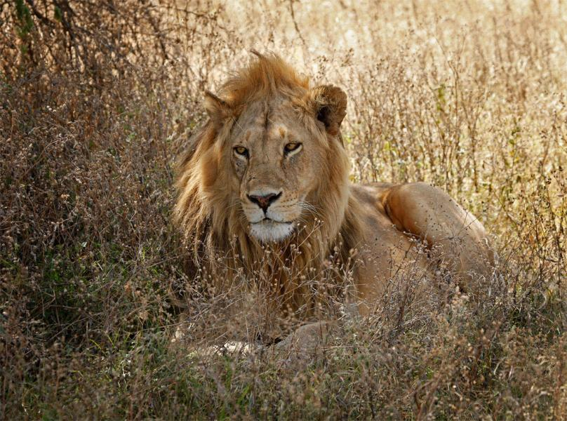 Male Lion(Panthera leo) Camouflaged, Resting in Shade of Acacia Tree- Serengeti, Tanzania