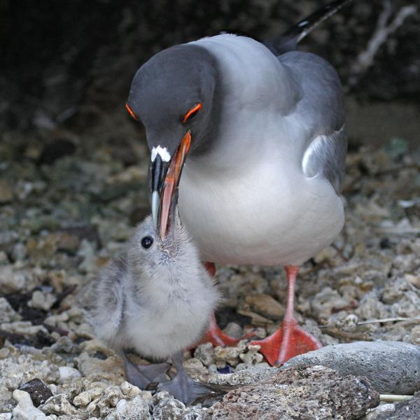 Swallow-tailed Gull (Larus furcatus) Feeds Chick, Galapagos Islands
