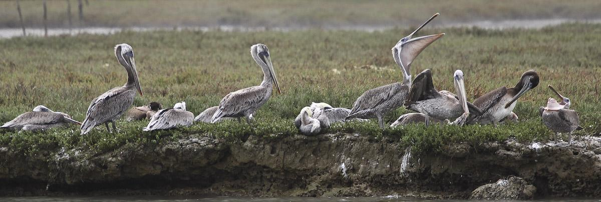 California Brown Pelicans ( Pelecanus occidentalis ) roosting at Elkhorn Slough, Moss Landing