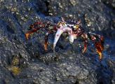 Blending in with Background, Immature Sally Lightfoot Crab Holds a Meal
