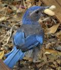 Hungry Western Scrub Jay (Aphelocoma californica)