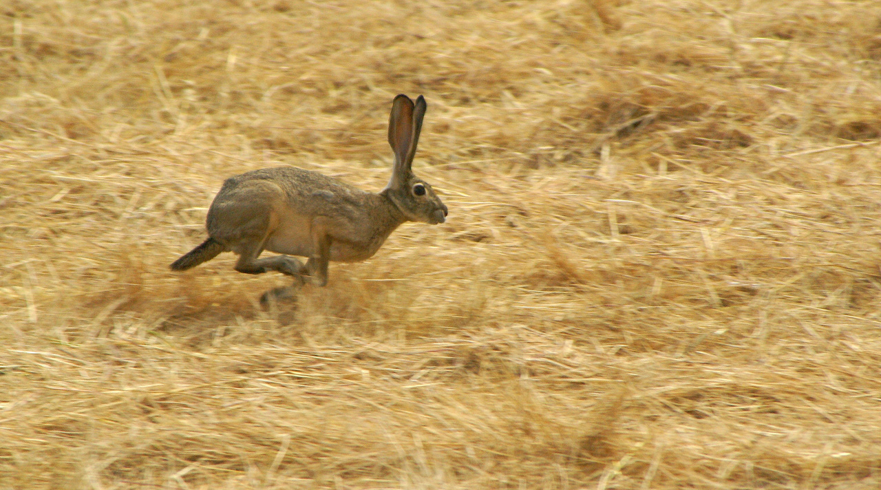 Black-Tailed Jackrabbit runs from mower nearby
