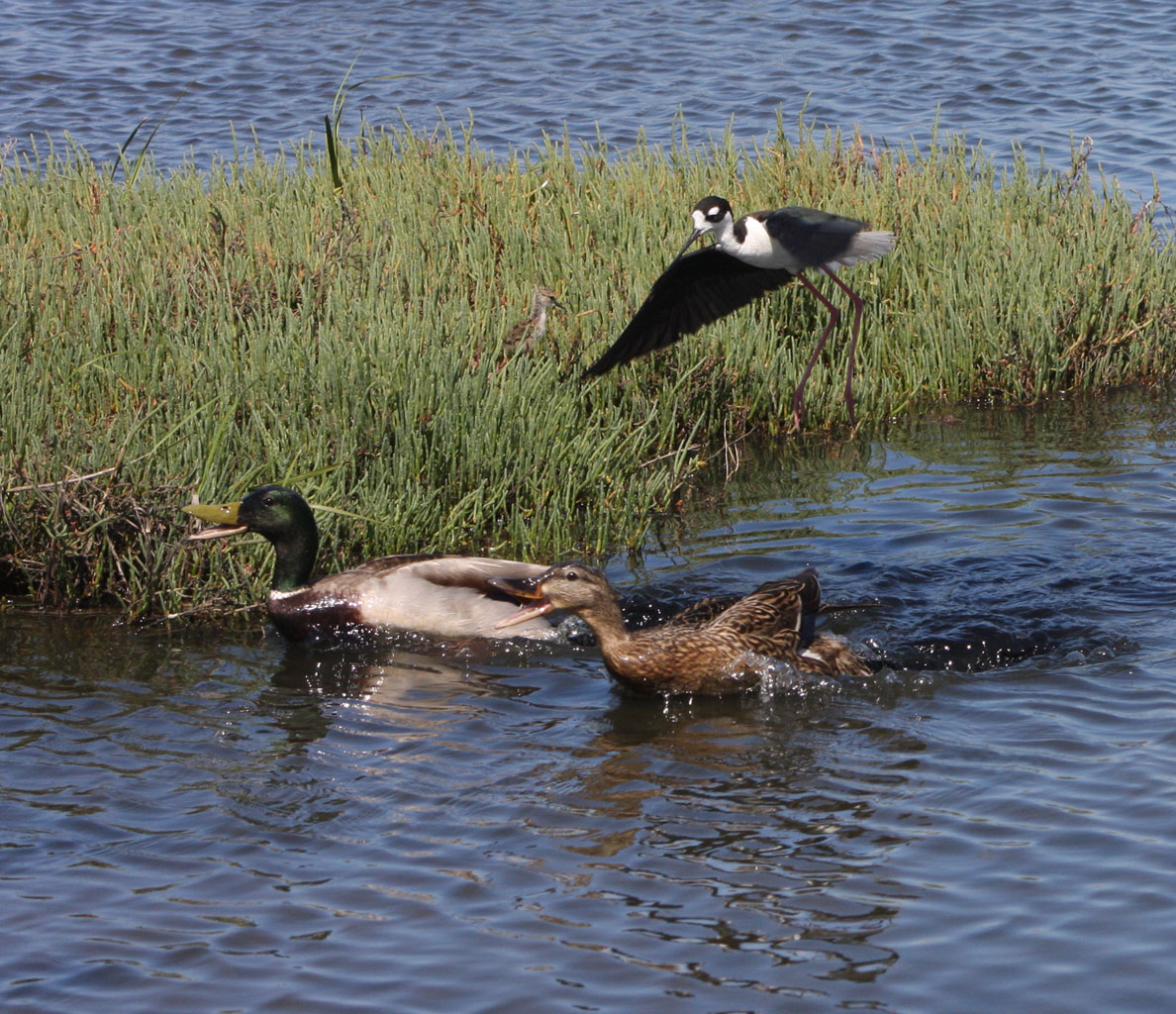 Black-necked Stilt protects chick from encroaching Mallards