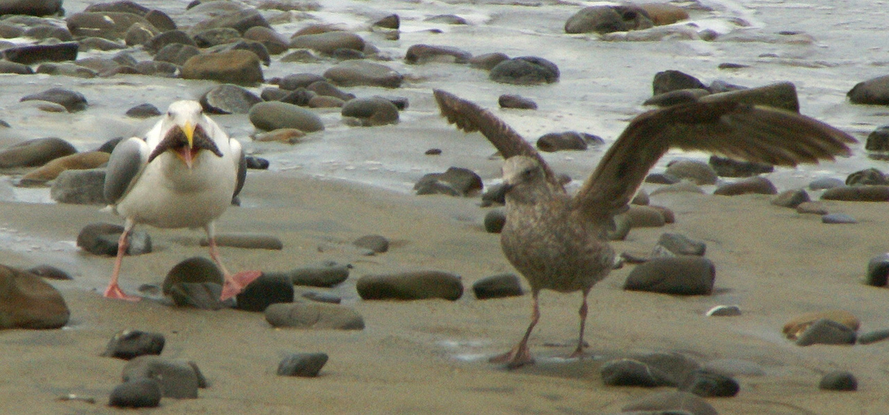 Thayer's Gull with captured starfish