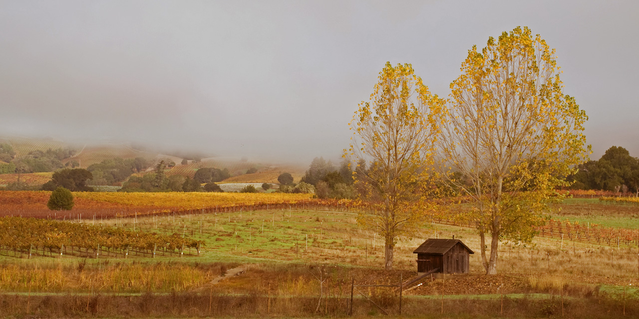 Fog covered vineyard