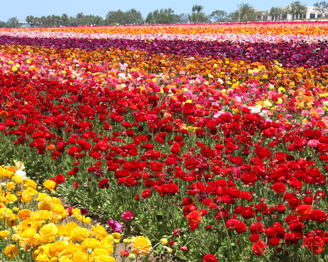 Carlsbad Flower Fields in Bloom
