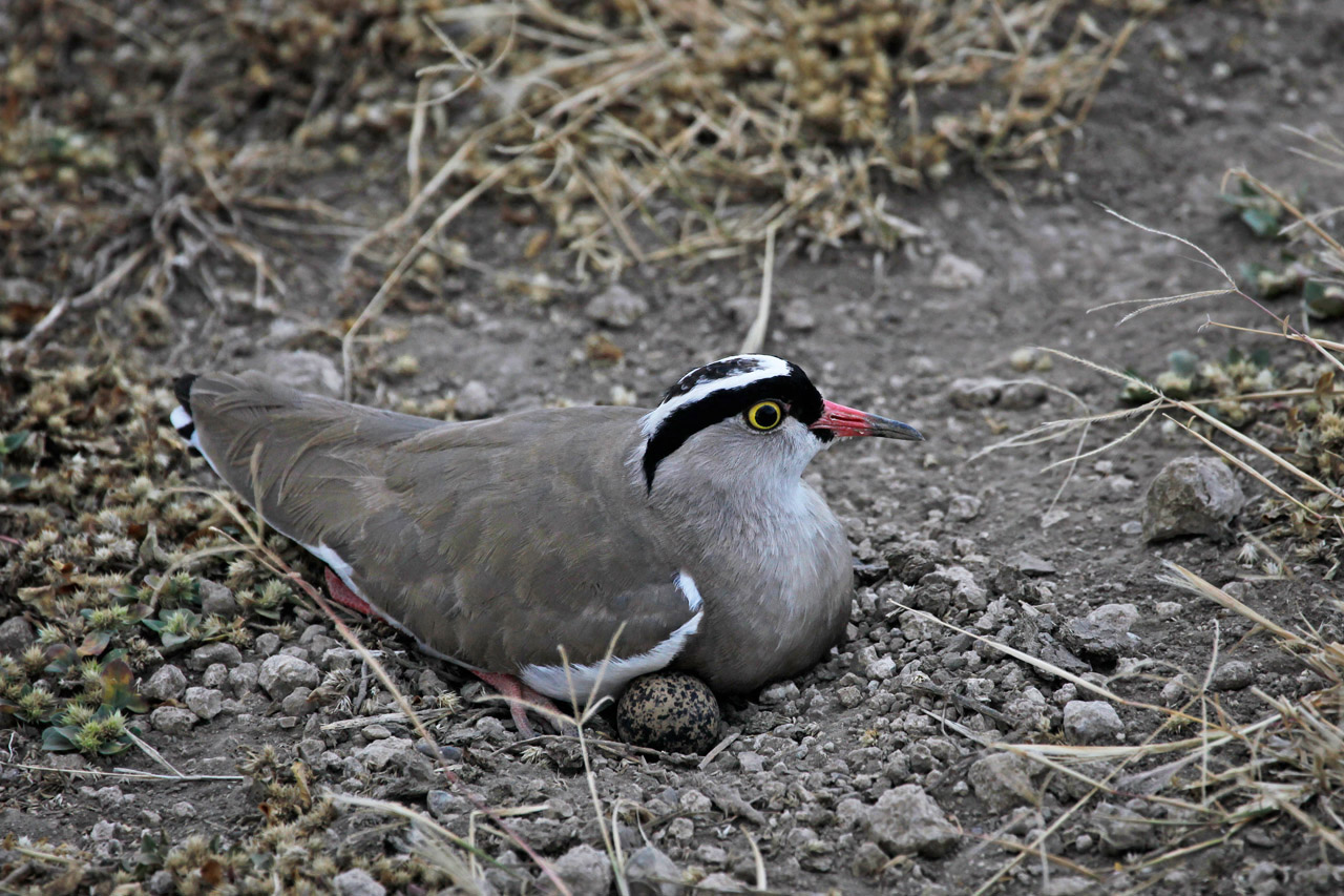 Crowned Lapwing (Vanellus coronatus) Sits on Egg on Ground,Tanzania