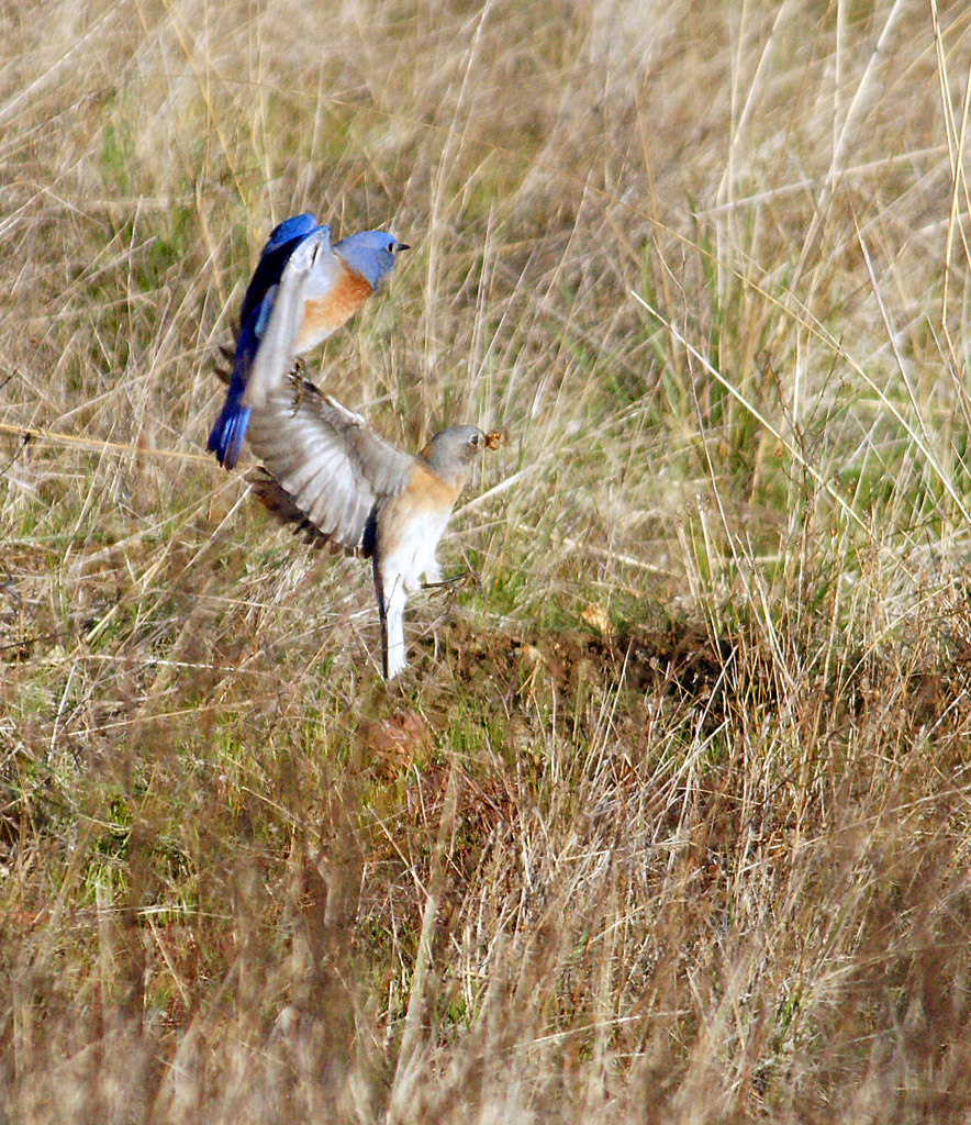 Western Bluebirds (Sialia mexicana) fly catching. Jasper Ridge Nature Preserve, Stanford, CA