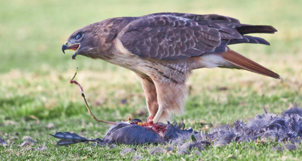 Red-tailed Hawk (Buteo jamaicensis) tearing up its kill, Mountain View, California