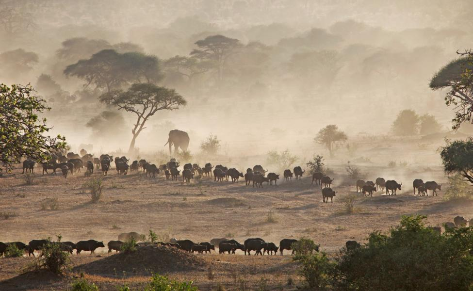 Migrating Cape Buffalo Stir up Dust, Africa