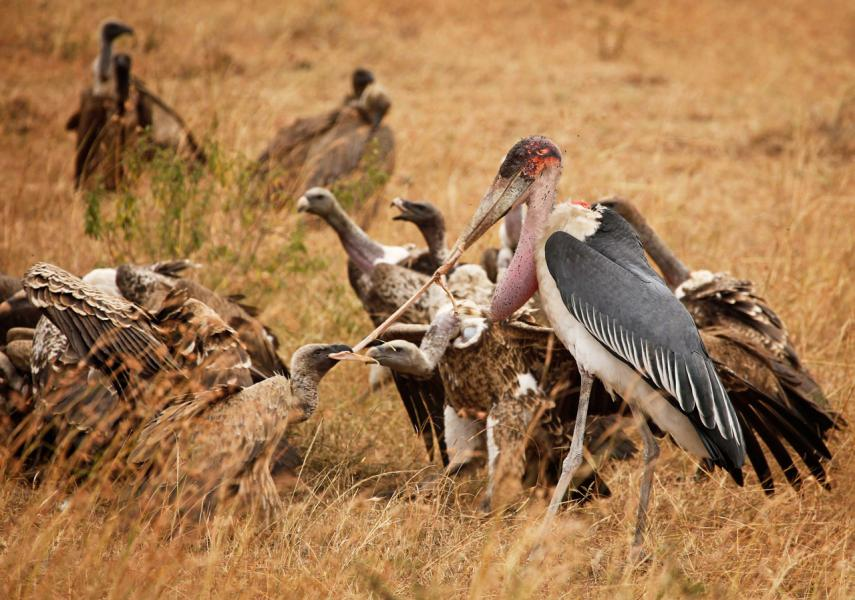 Griffon Vulture(Gyps rueppelli) & Marabou Stork(Leptoptilos) Fight over piece of Zebra Carcass, Sere