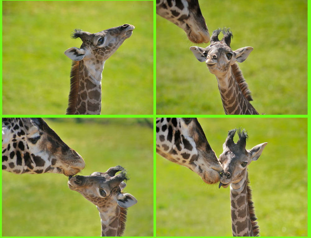 Giraffe Calf Begging Mother Giraffe