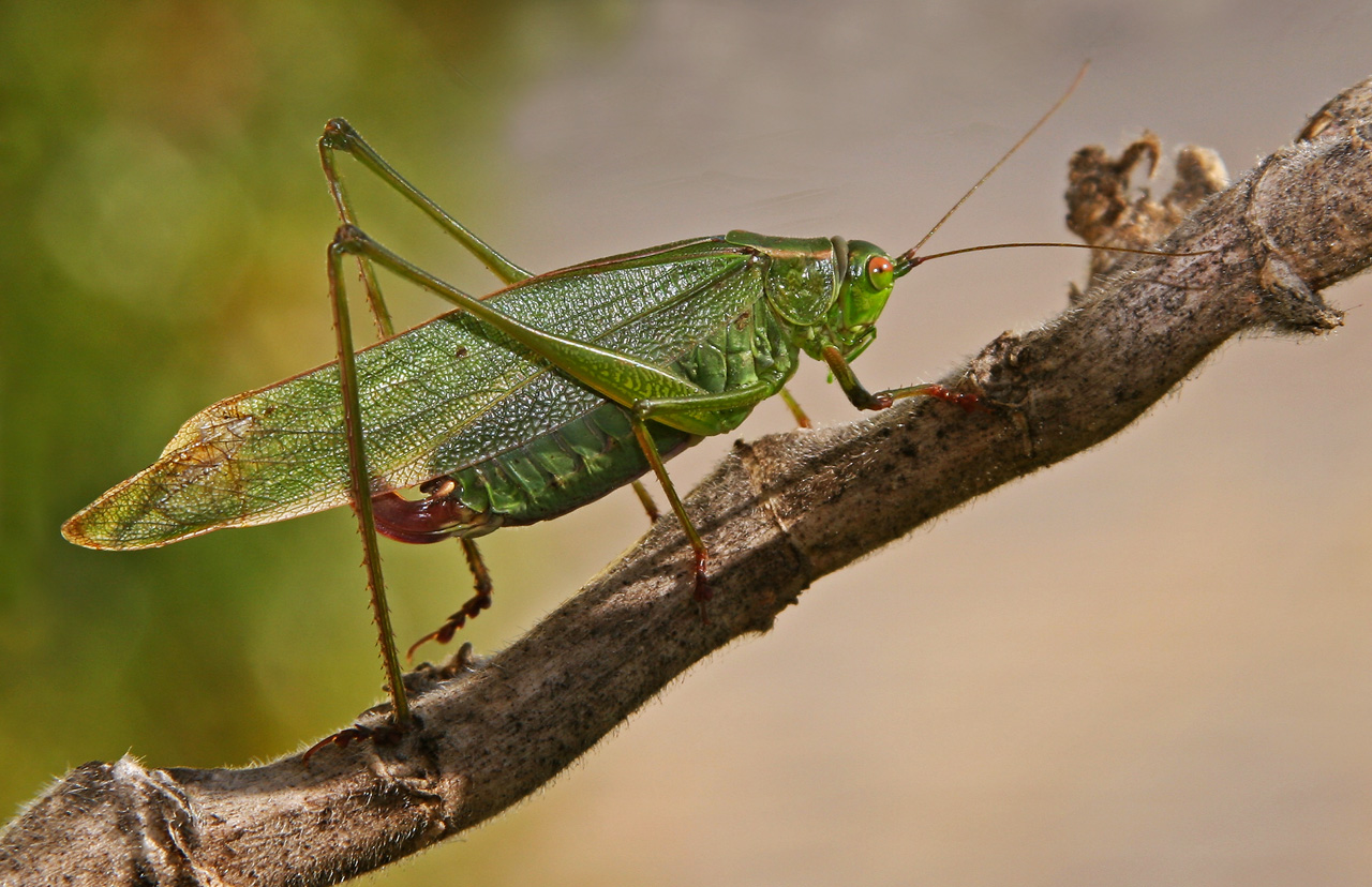 Portrait Female Katydid(Microcentrum) Shows Enlarged Ovipositor Ready to Lay Eggs