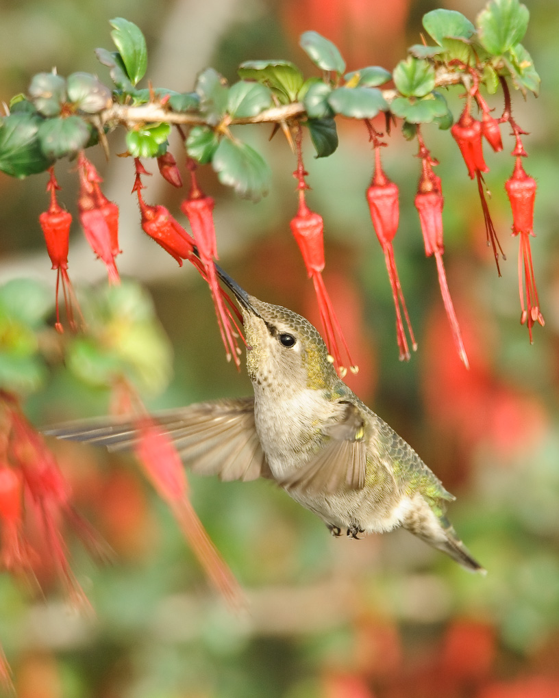 Anna's hummingbird female feeding on nectar from fuschia-flowered gooseberry