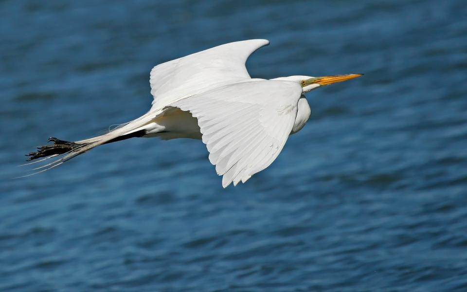 Elegant Snowy Egret Glides Low Over the Water