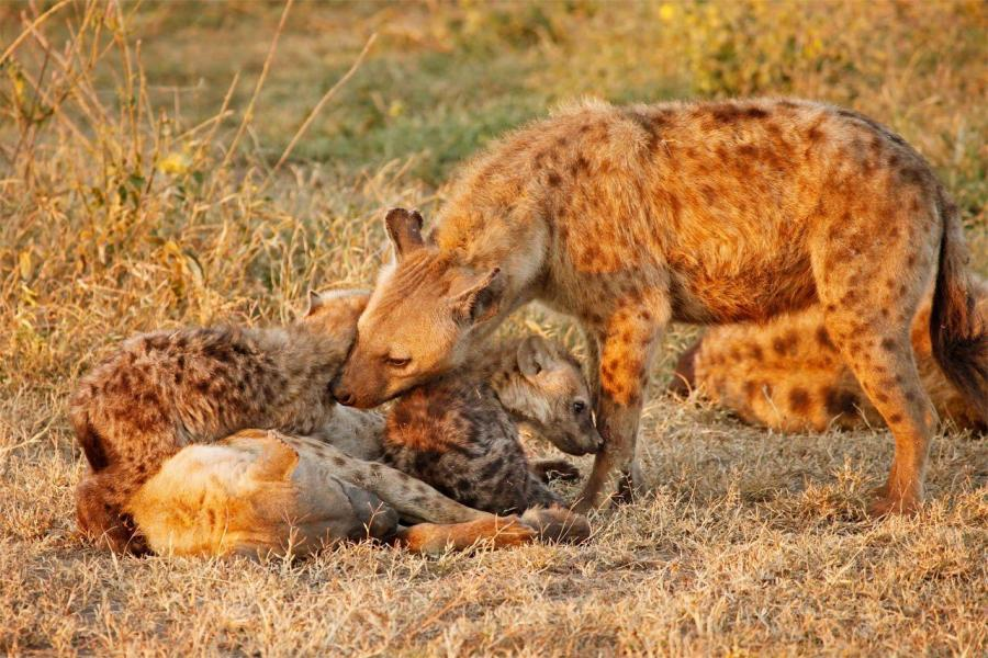 Alpha Male Spotted Hyena(Crocuta crocuta) Nuzzles Young Pups Afectionately After Female Nurses Them