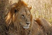 Head detail-Male Lion(Panthera leo) Shows Battlescars-Survival on Serengeti,Africa