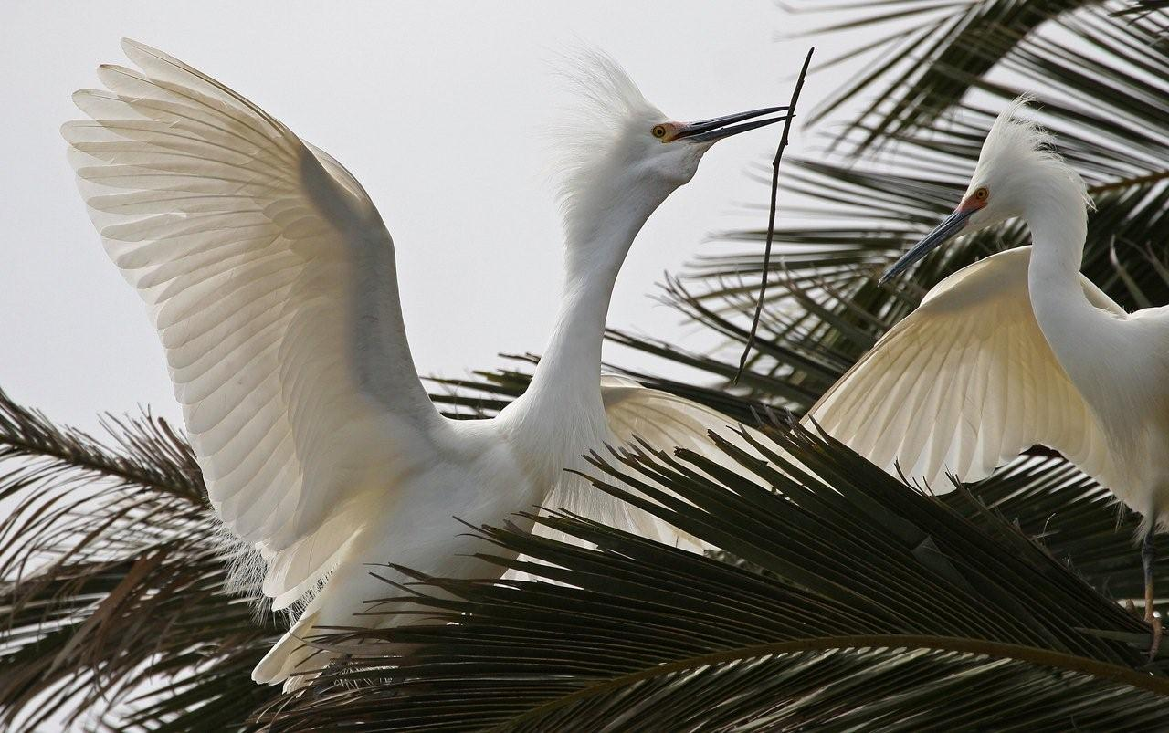 Snowy Egret Egreta thula Passing Stick for Nest