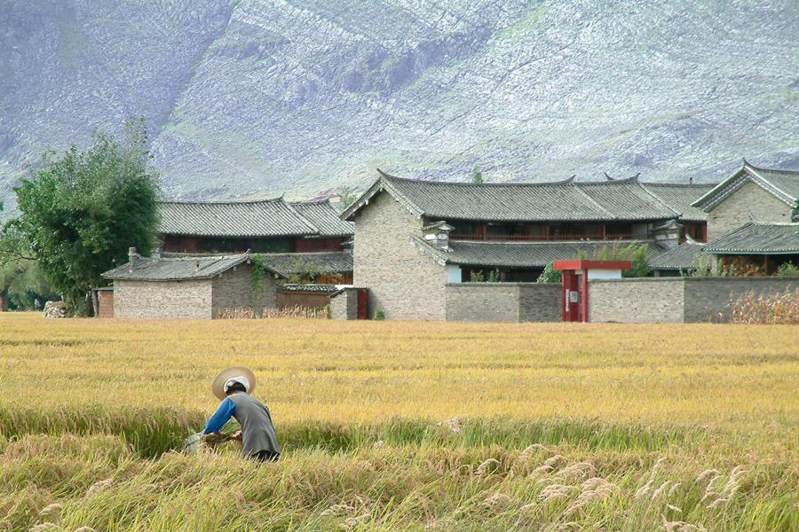 Rice Harvest, Yunnan, China