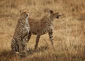 Two Male Cheetah's Hunt Together