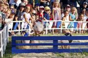 First Over the Last Hurdle, Alameda County Fair Pig Race