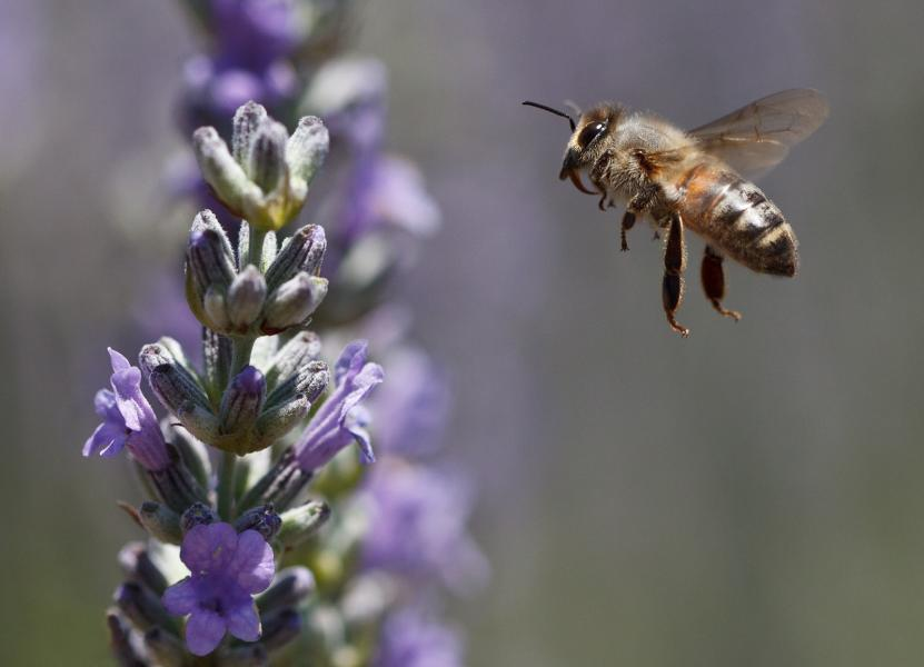 Italian Honey Bee (Apis mellifera ligustica) approaches landing on lavender blossom